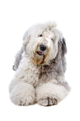 front view of an Old English Sheepdog (bobtail)