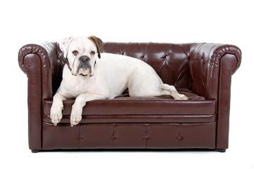 white boxer dog lying on a coach