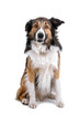 border collie dog, sheepdog looking at camera