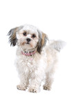 front view of a cute Maltese dog poster