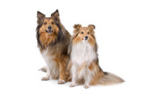 front view of two shetland sheepdogs (shelty) poster