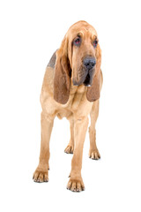 front view of a bloodhound (st.hubert or sleuth)