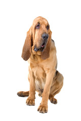 bloodhound (st.hubert or sleuth) isolated on a white background