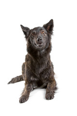 front view of a dutch shepherd dog