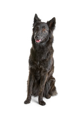 dutch long haired shepherd dog