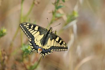  Common Swallowtail