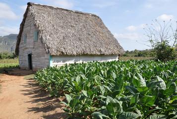 Tabakanbau in Kuba
