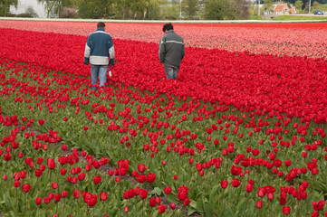 Workers in tulips