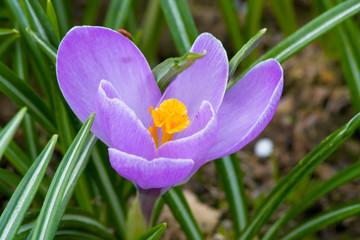Purple flower (Crocus).
