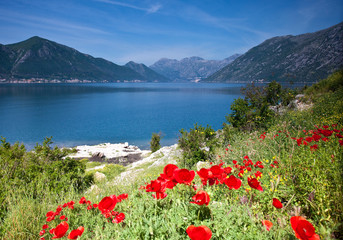 Poppies over Kotor Bay