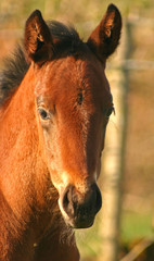 Portrait of a bay thoroughbred foal