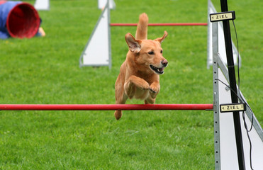 Golden Retriever beim Agility