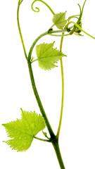 tige de vigne, fond blanc