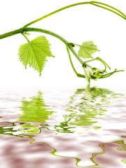 tige de vigne sur reflets lie de vin, fond blanc
