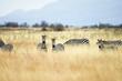 Wild Zebra Herd