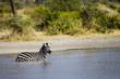 Zebra in Water