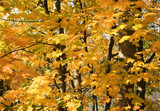 Maple trees a mellow autumn poster