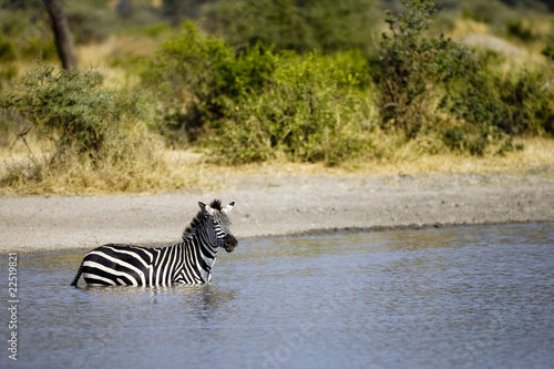Zebra in Water