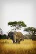 Wild African Elephant Herd