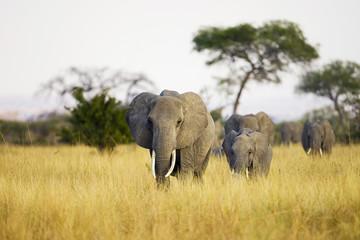 Elephant Herd