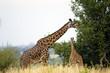 Wild African Giraffes