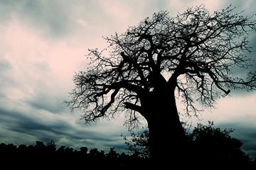 African Baobab Tree