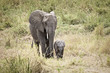 Wild Mother Elephant with baby