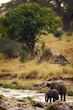 Wild Elephants Drinking from Stream