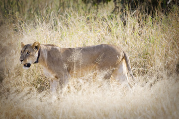 Lion wearing a tracking collar