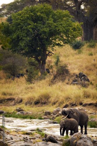 Wild Elephants Drinking from Stream