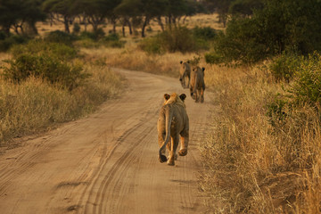 Lions running down road