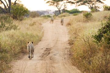 Running Lions