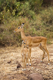 Mother and Baby African Impala