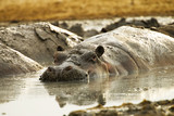 Muddy Hippo Pool