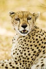Wild Cheetah in Africa