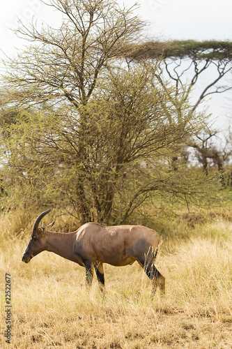 Wild African Topi Animal