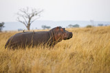African Hippo in the Grass