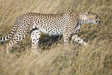 Cheetah stalking her prey