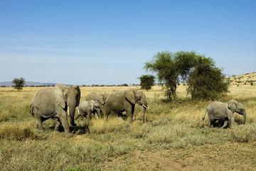 Wild Elephant Herd