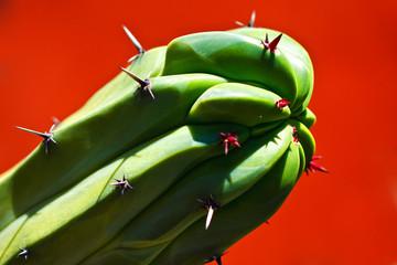 Crested Blue Myrtle Cactus
