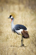 Wild African Crown Crane Bird