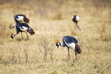 Flock of African Grey Crowned Crane Birds