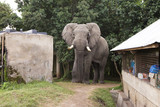 Large Elephant invades camp site