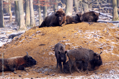 Deurstickers Bison Wisentherde im Winter