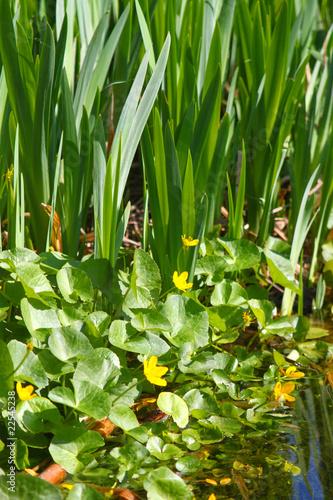 gelb bl hende wasserpflanzen am teich mit frosch von. Black Bedroom Furniture Sets. Home Design Ideas