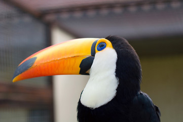 Toucans. Ramphastidae