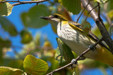 golden oriole perched in a tree