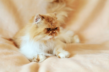 persian cat in soft selective focus