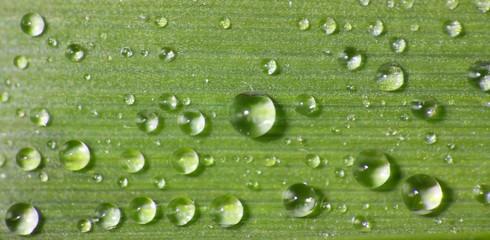 Wassertropfen auf Bambusblatt - Lotoseffekt