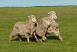 Three merino sheep running in close formation in pasture